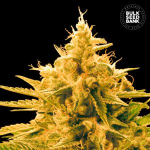 Feminised Seeds